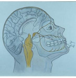 La posizione deldel nervo trigemino, quinto paio dei nervi cranici